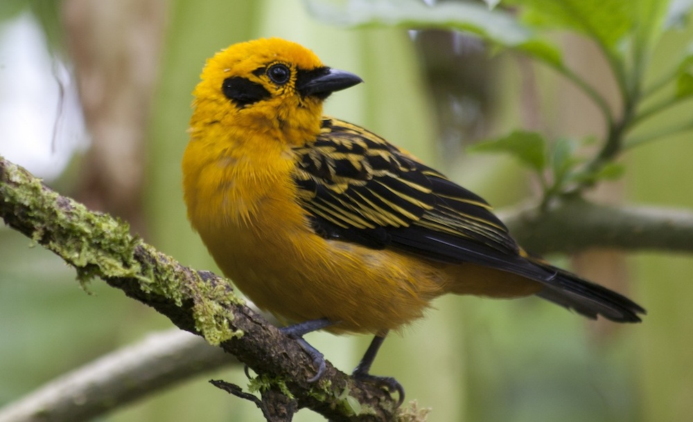 GOLDEN_TANAGER_2.jpg