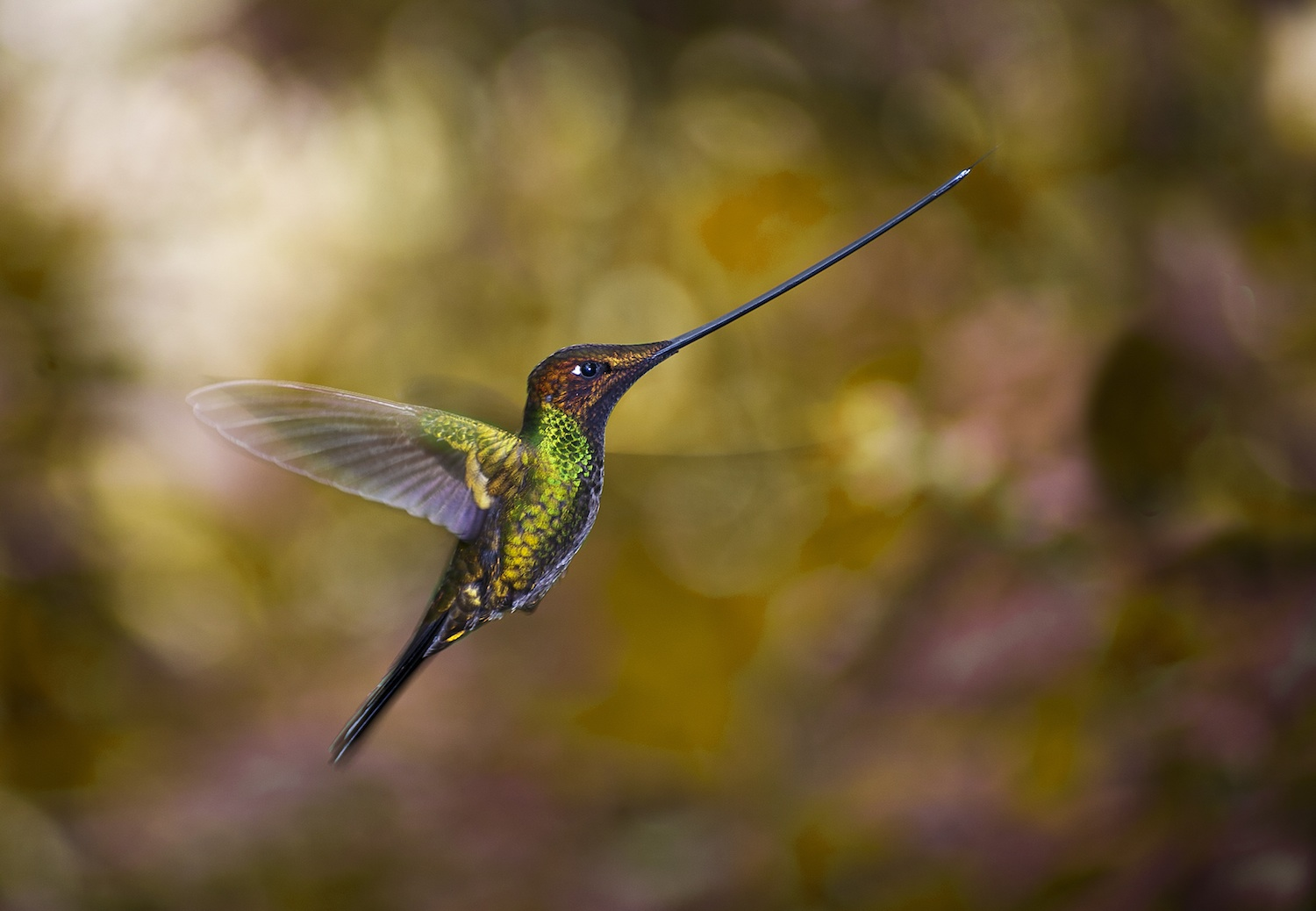 Sword-billed_hummingbird_-Guango2.jpg